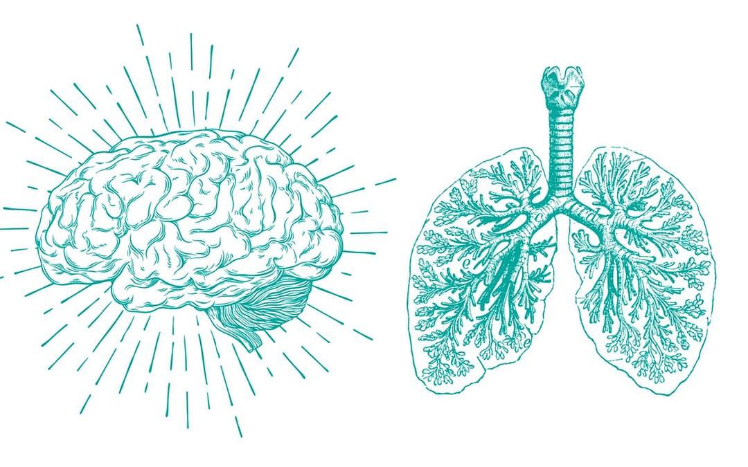 Une nouvelle modélisation du tronc cérébral révèle comment le cerveau contrôle la respiration